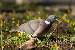 Pássaro - pombo torcaz Imagens de Stock