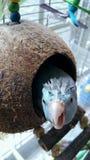 Pássaro pontudo parvo da tartaruga do coco imagem de stock