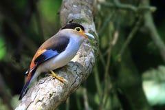 Pássaro, prata-breasted Broadbill Fotos de Stock Royalty Free