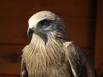 Pássaro predatório Foto de Stock Royalty Free