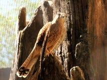 Pássaro predatório Fotos de Stock Royalty Free