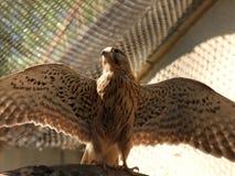 Pássaro predatório Fotografia de Stock