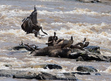 Pássaro predatório que senta-se em uma rocha perto do rio kenya tanzânia safari East Africa Foto de Stock Royalty Free