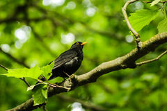 Pássaro preto imagem de stock