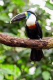 Pássaro preto branco vermelho bonito do tucano do verde azul Imagens de Stock Royalty Free