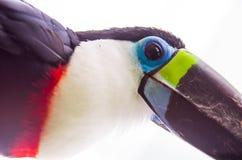 Pássaro preto branco vermelho bonito do tucano do verde azul Imagem de Stock Royalty Free