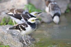 pássaro Preto-colocado um colar do estorninho (nigricollis do Sturnus) que está no ramo Foto de Stock