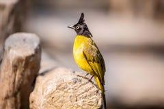 pássaro Preto-com crista do Bulbul Foto de Stock