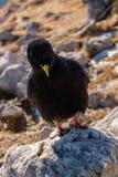 Pássaro preto da montanha Imagem de Stock Royalty Free