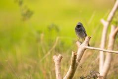 Pássaro preto de Redstart em um ramo Imagens de Stock