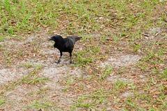 Pássaro preto do corvo Imagem de Stock Royalty Free