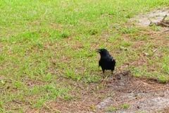 Pássaro preto do corvo Imagens de Stock Royalty Free