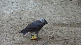 Pássaro preto do corvo que come a maçã no assoalho da rua filme