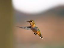 Pássaro preto do zumbido de Chinned Fotografia de Stock