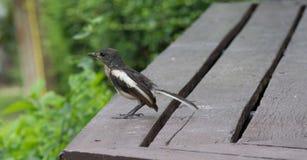 Pássaro preto e branco Fotografia de Stock