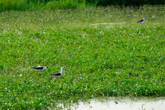 Pássaro preto e branco no campo Imagem de Stock