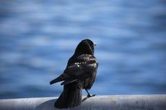 P?ssaro preto, lago imagem de stock