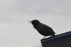 Pássaro preto mostrado em silhueta contra um céu nebuloso Foto de Stock Royalty Free