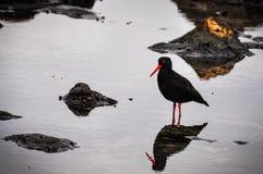Pássaro preto na baía do objeto antigo, Nova Zelândia imagens de stock