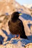 Pássaro preto na luz do alvorecer Foto de Stock