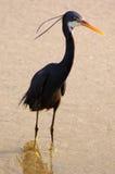 Pássaro preto na praia Foto de Stock Royalty Free