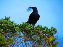Pássaro preto que faz seu ninho Fotografia de Stock Royalty Free