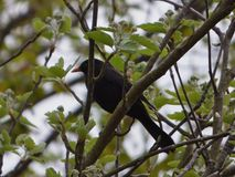 Pássaro preto que senta-se na árvore foto de stock royalty free