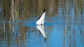 pássaro Preto-voado do pernas de pau que dving em um lago perto de Indore, Índia fotos de stock