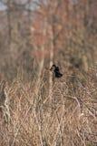 Pássaro preto voado vermelho 3 imagens de stock