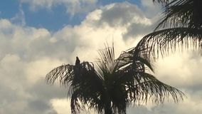 Pássaro principal do Quiscalus (Grackle Barco-atado) que canta na palmeira video estoque