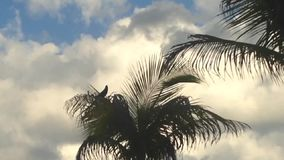 Pássaro principal do Quiscalus (Grackle Barco-atado) que canta na palmeira em Miami, Florida vídeos de arquivo