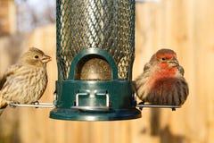Pássaro que alimenta no alimentador do quintal fotografia de stock royalty free