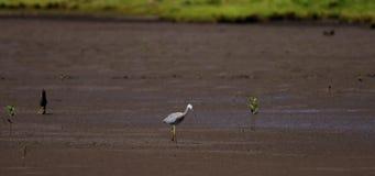 Pássaro que anda através dos planos de lama video estoque