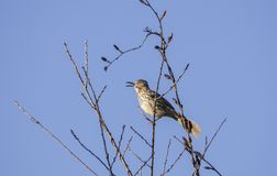Pássaro que canta em uma árvore, Geórgia EUA de Brown Thrasher imagem de stock