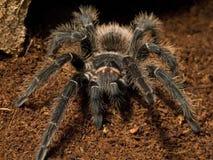 Pássaro que come a aranha Foto de Stock
