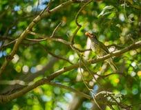 Pássaro que come a baga amarela Fotos de Stock Royalty Free