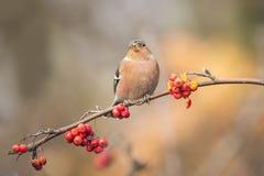 Pássaro que come bagas durante o outono Fotos de Stock