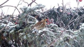 Pássaro que come bagas vermelhas no ramo, queda de neve, sobrevivência do inverno, pássaros de alimentação filme