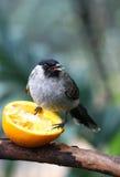 Pássaro que come a laranja Imagens de Stock Royalty Free