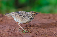 Pássaro que está na terra Foto de Stock Royalty Free