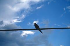 Pássaro que mantém o ramo empoleirado na linha elétrica Imagem de Stock Royalty Free