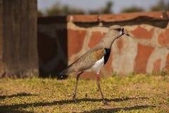 Pássaro que procura o alimento imagens de stock