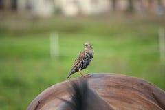 Pássaro que senta-se na parte traseira do cavalo Imagens de Stock Royalty Free