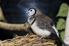 Pássaro que senta-se no ninho Imagens de Stock