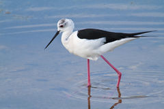 Pássaro que vadeia na água Fotografia de Stock Royalty Free