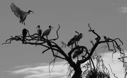 Pássaro que vem para aterrar Fotos de Stock Royalty Free