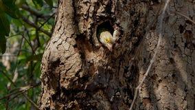 Pássaro que vive dentro aos ninhos na árvore alta na floresta tropical tropical video estoque