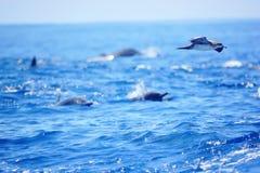 Pássaro que voa sobre alguns golfinhos no Oceano Pacífico de Costa Rica imagem de stock royalty free