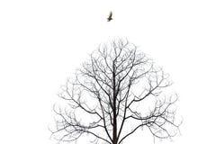 Pássaro que voa sobre o isolado estéril da árvore no fundo branco Fotografia de Stock Royalty Free
