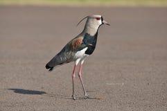 Pássaro Quero Quero que anda na rua Fotos de Stock Royalty Free